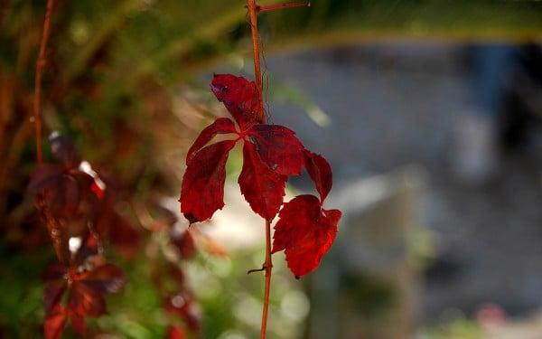sonbahar kırmızı yaprak