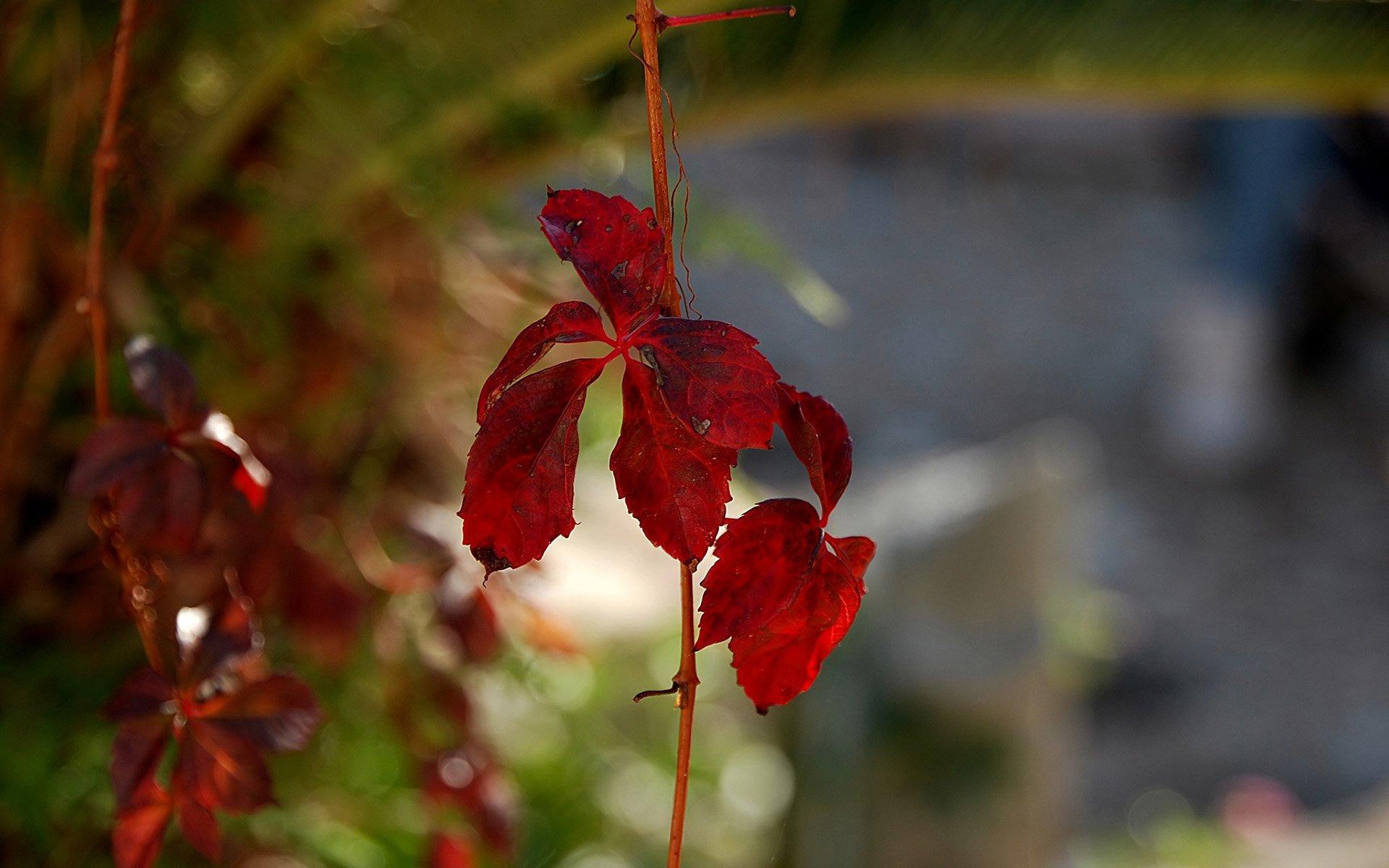 sonbahar süper kırmızı yaprak
