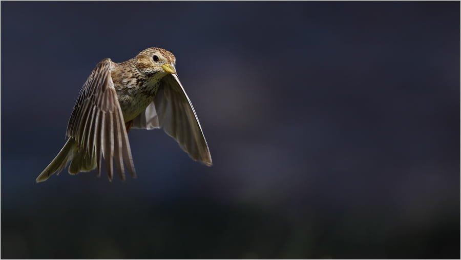 tarla kiraz kuşu