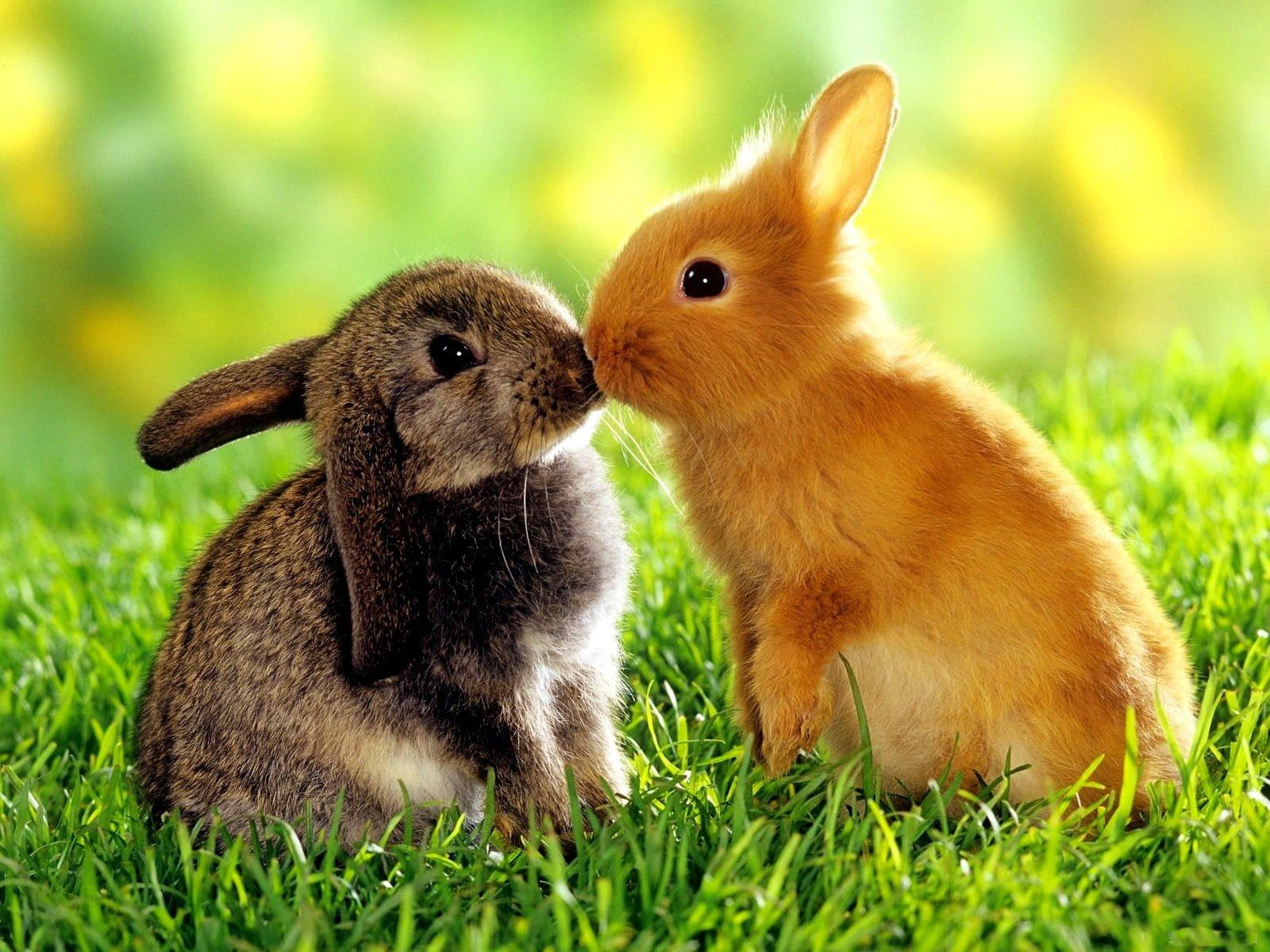 Tavşanların Aşkı