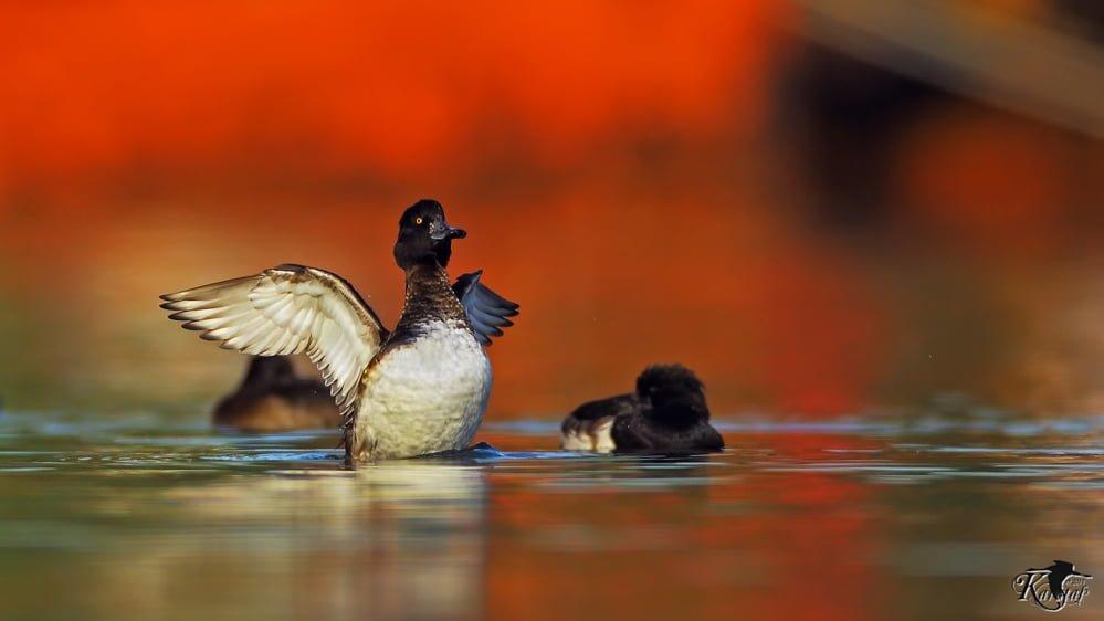 tepeli patka