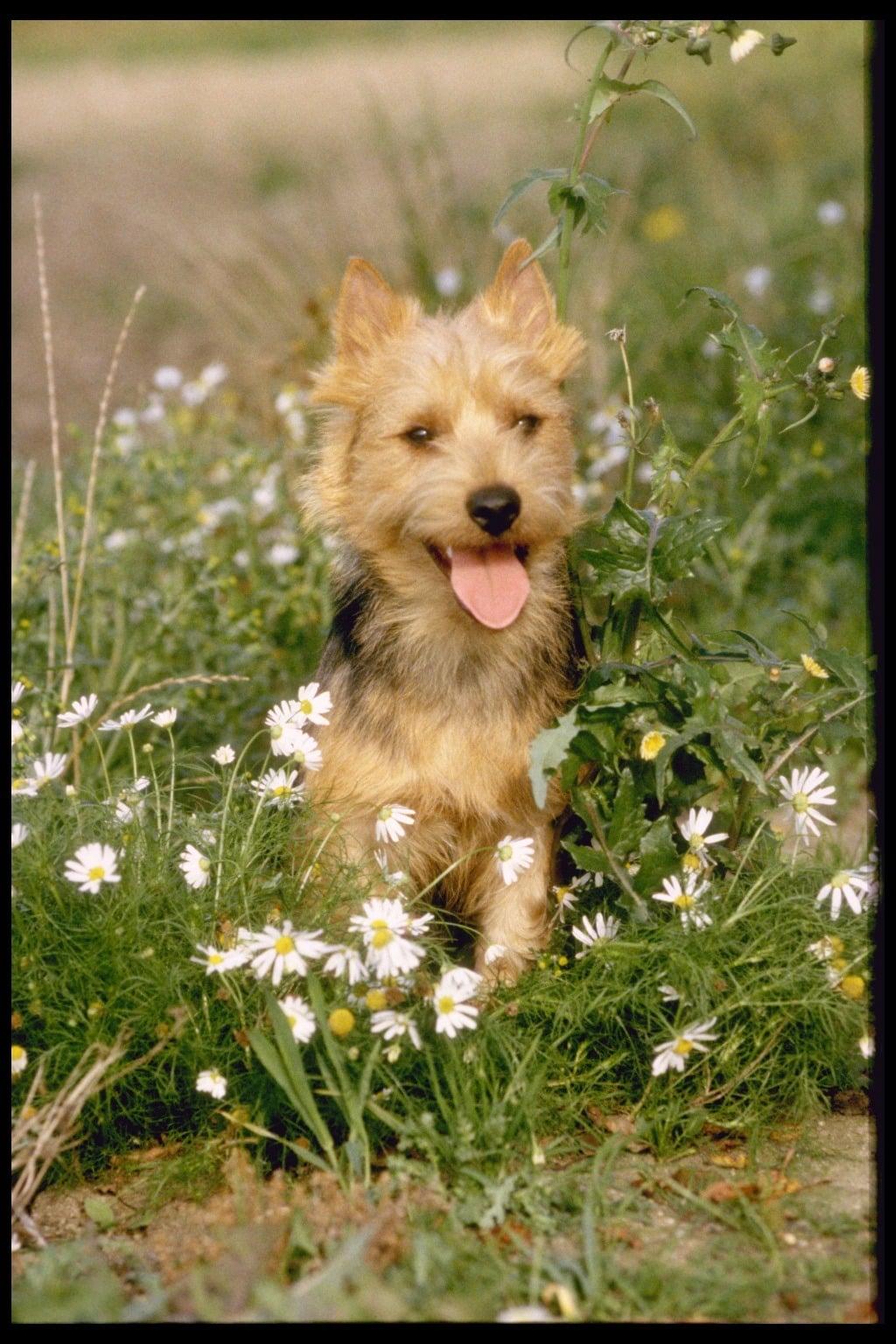 Terrier köpeği
