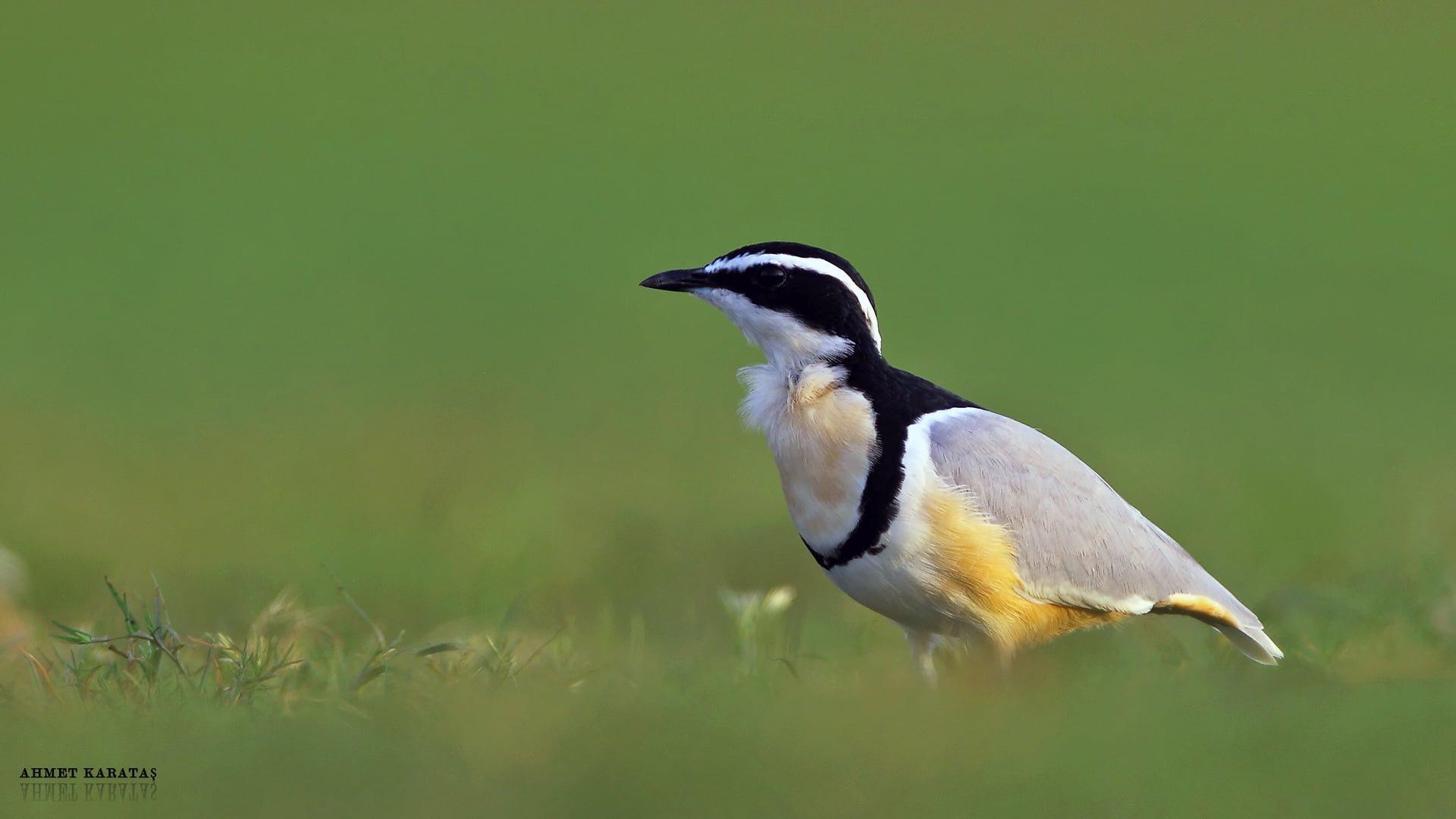 timsah kuşu