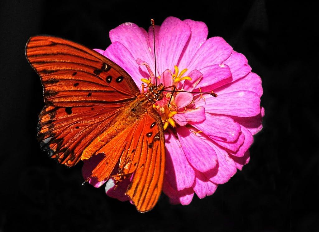 turuncu kelebek ve pembe çiçek