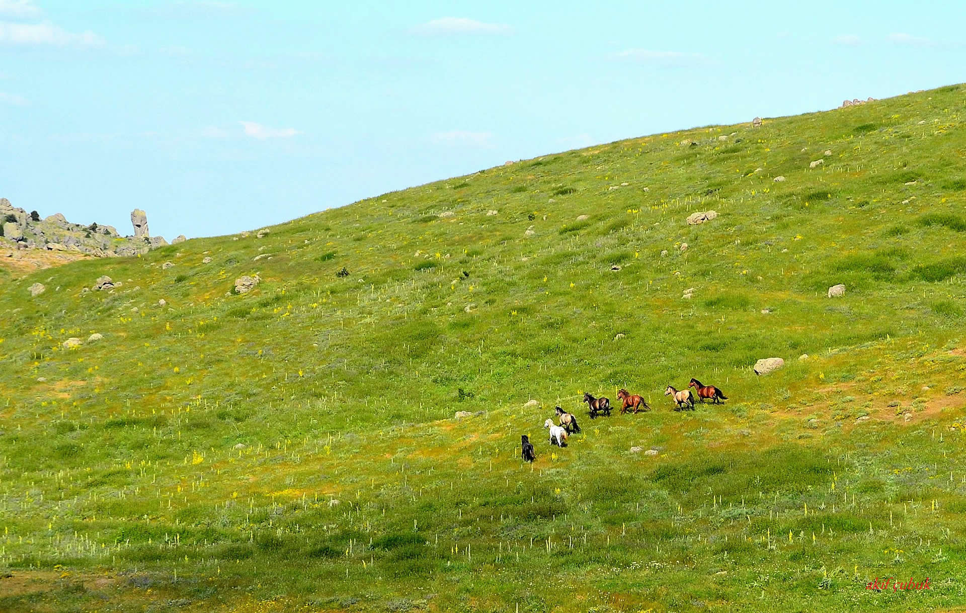 yılkı atları – 2