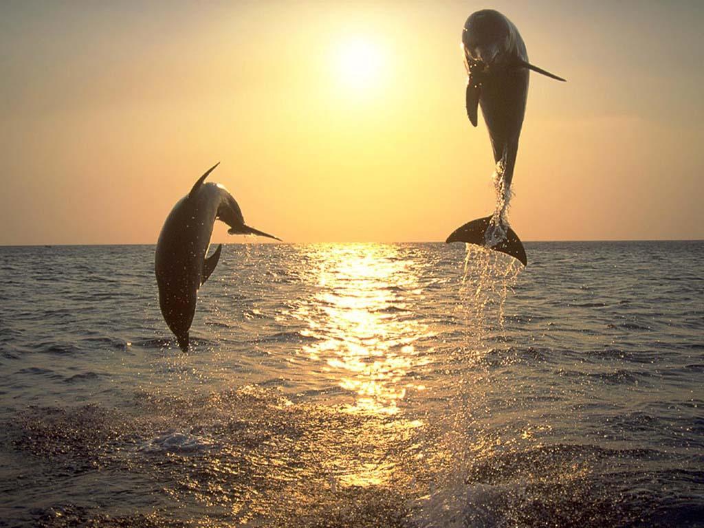Gün Batımında Yunus Balıkları