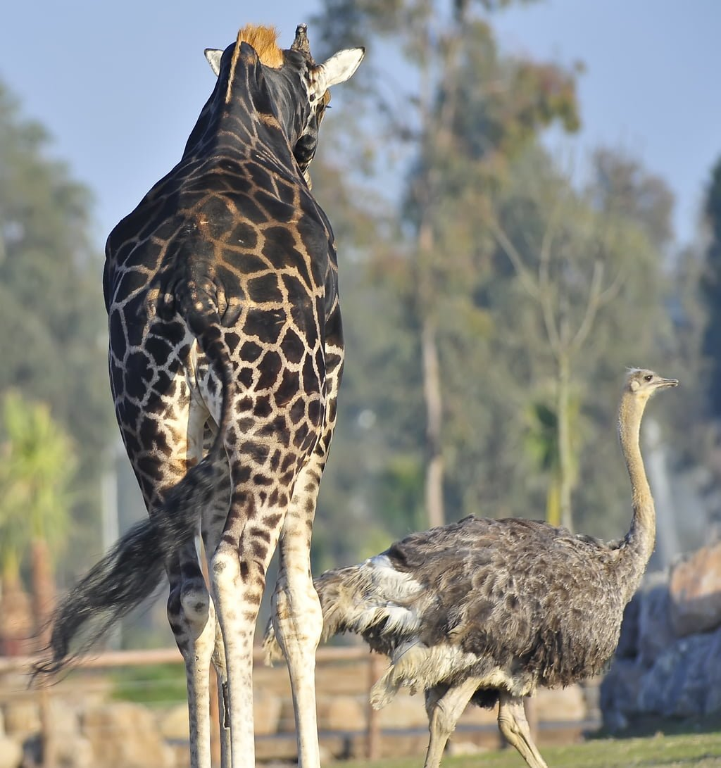 zürafa ve deve kuşu