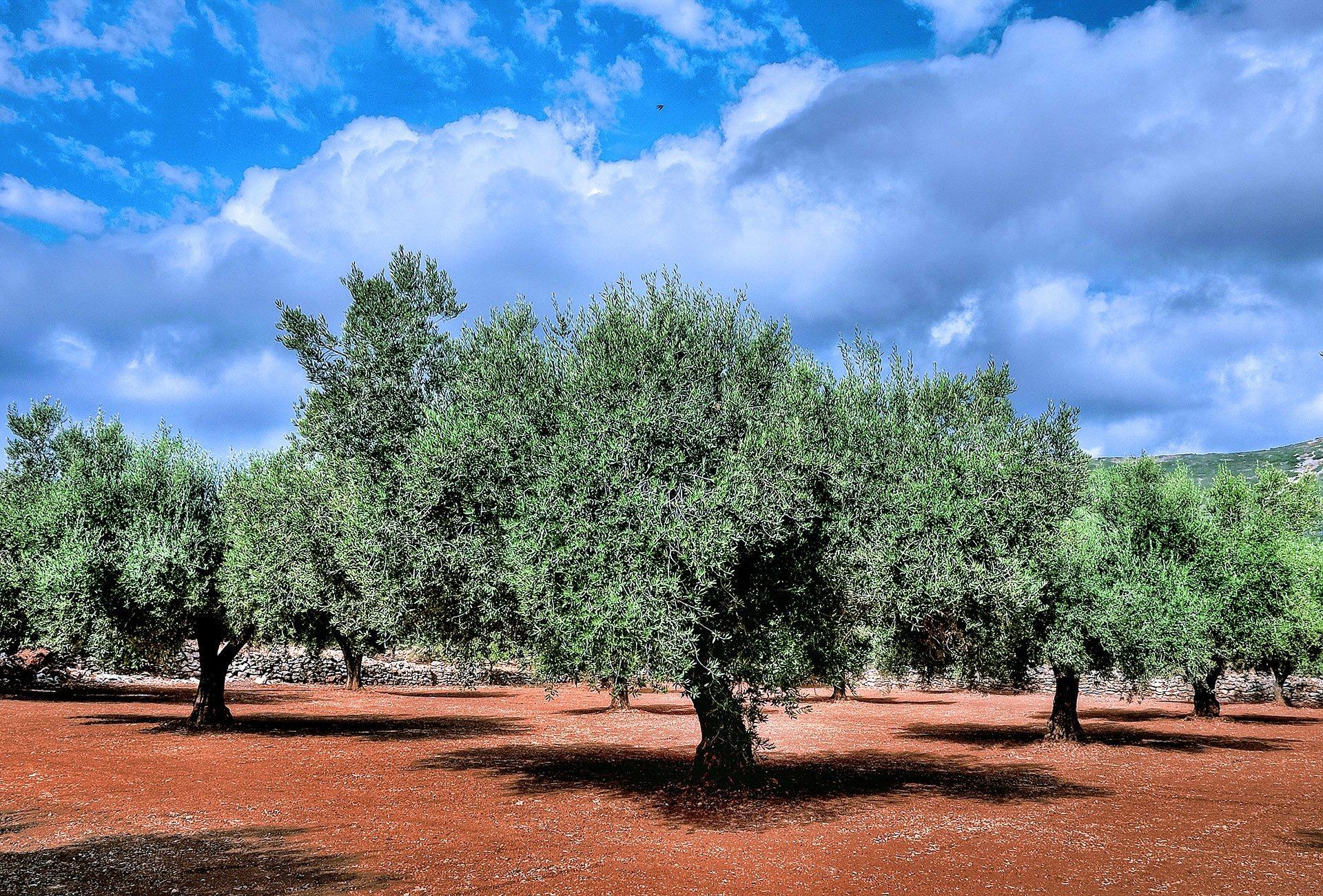 zeytin ağaçları